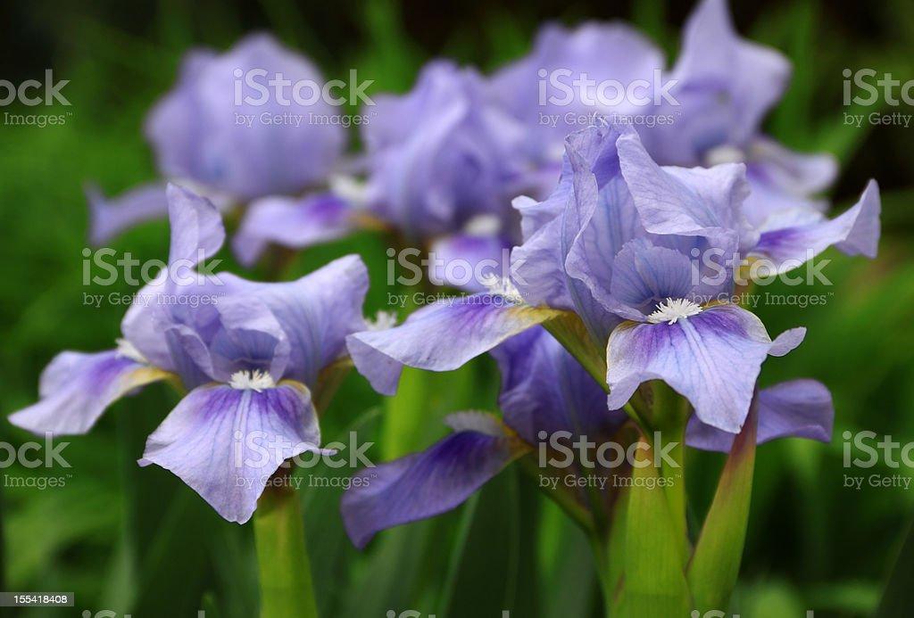 Bearded Iris Flowers stock photo