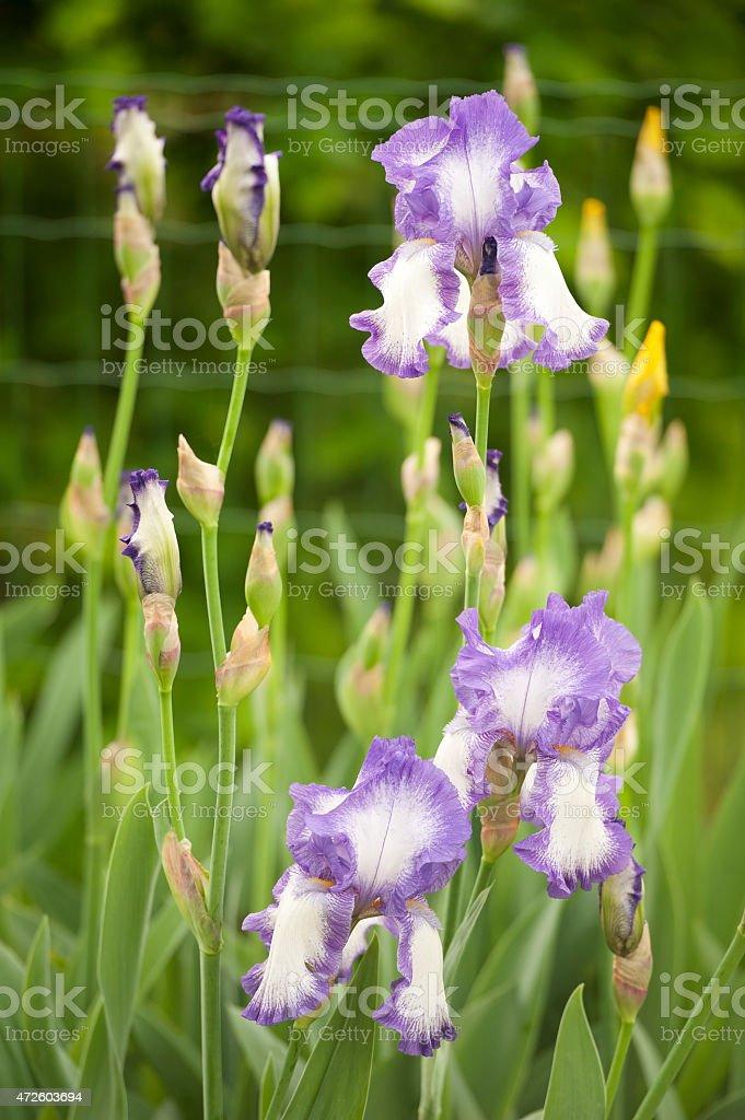 Bearded Iris stock photo