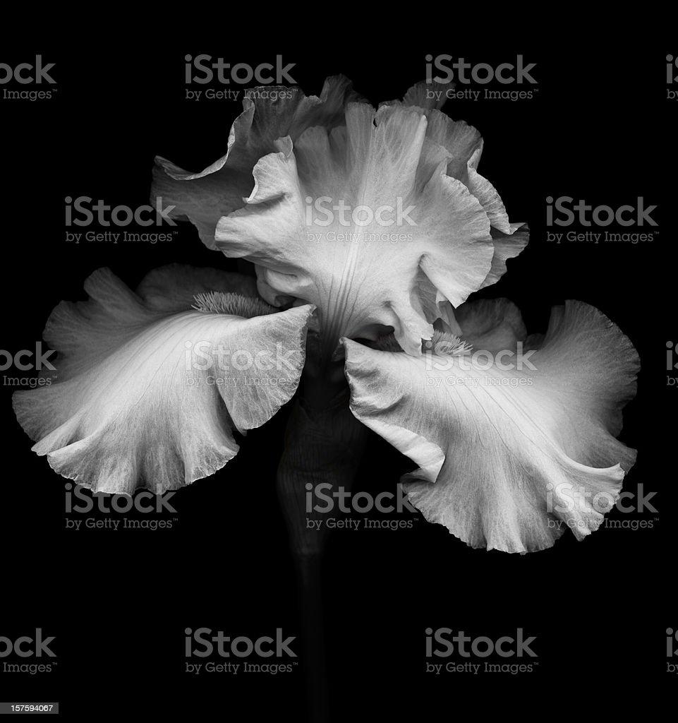 Bearded Iris- XXXL stock photo