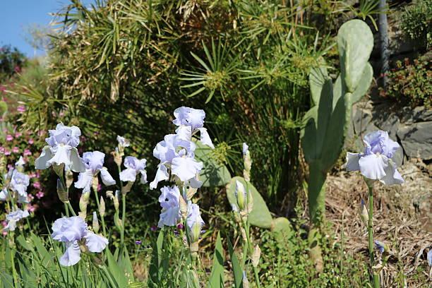 barbudo iris de color, cyperus papiro y figuera de moro en jardín, italia - opuntia robusta fotografías e imágenes de stock