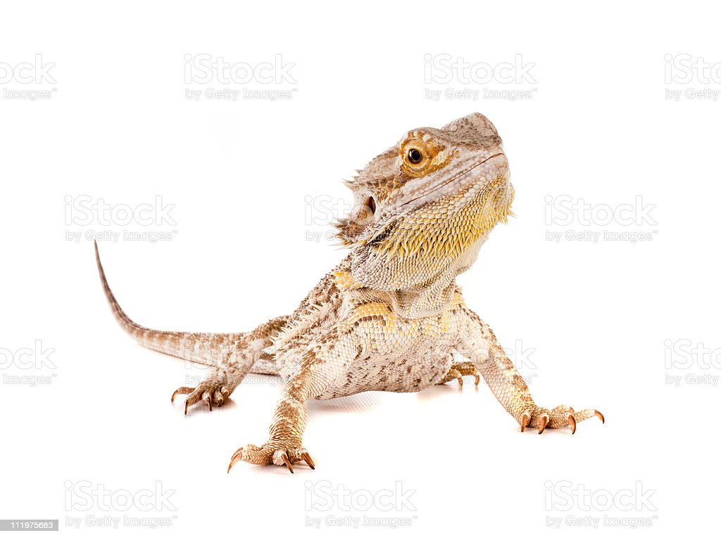 Deutsche Lizard – Foto