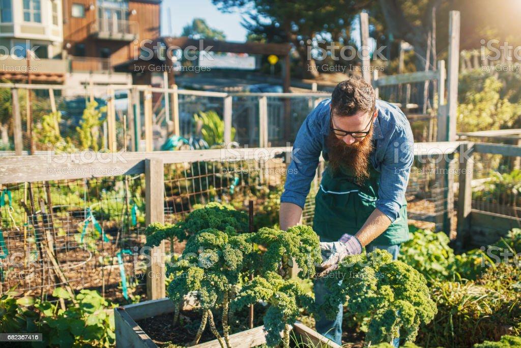 bearded man tending kale crops in urban communal garden foto stock royalty-free