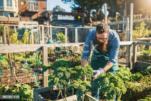 istock bearded man tending kale crops in urban communal garden 682367416