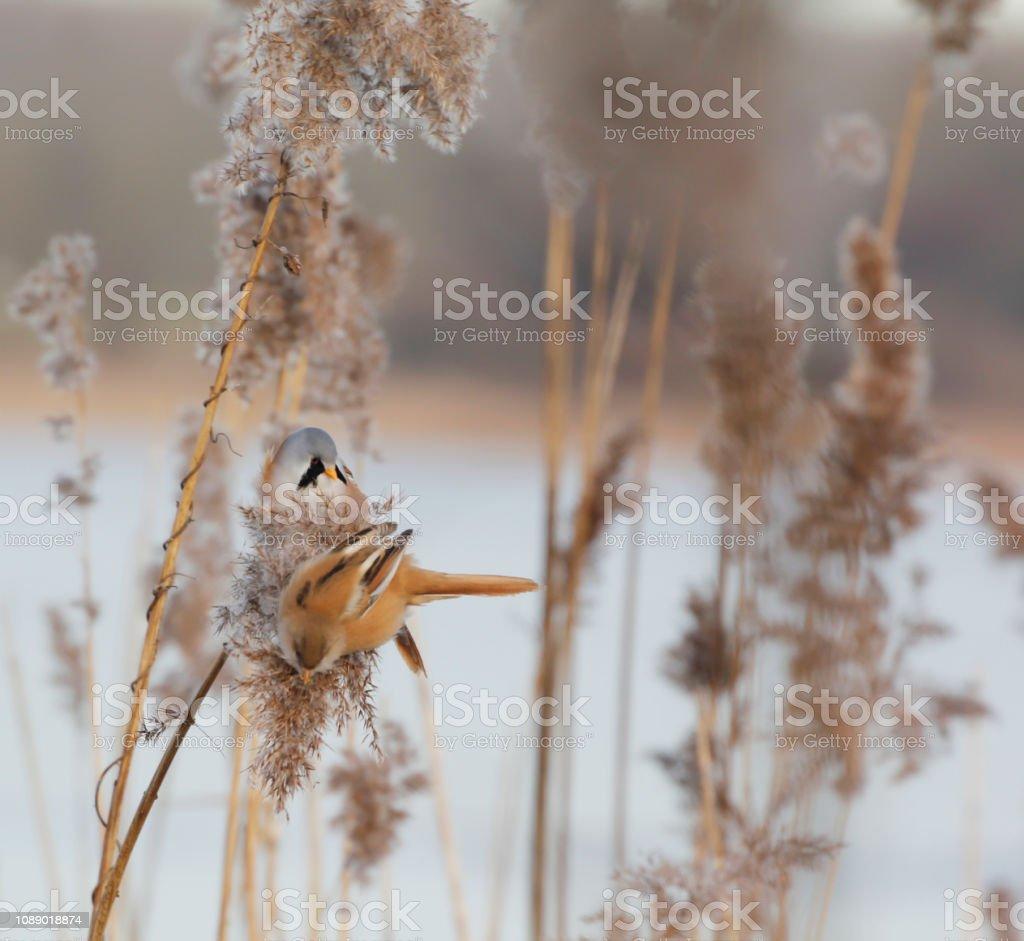 Baardmannetje (Panurus biarmicus) foto