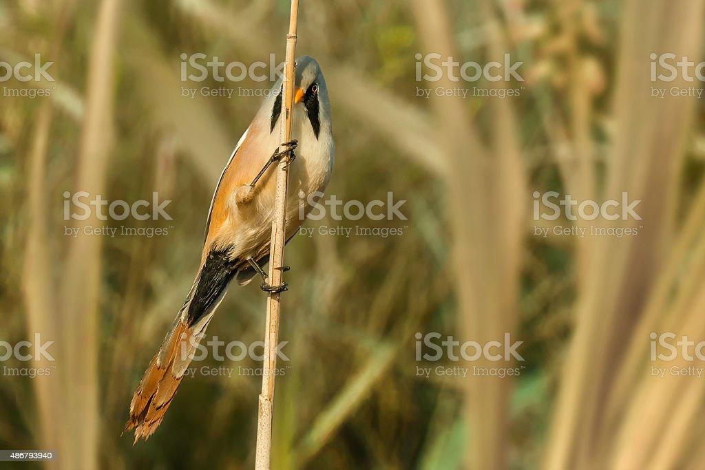 Bearded Reedling (Panurus biarmicus) stock photo