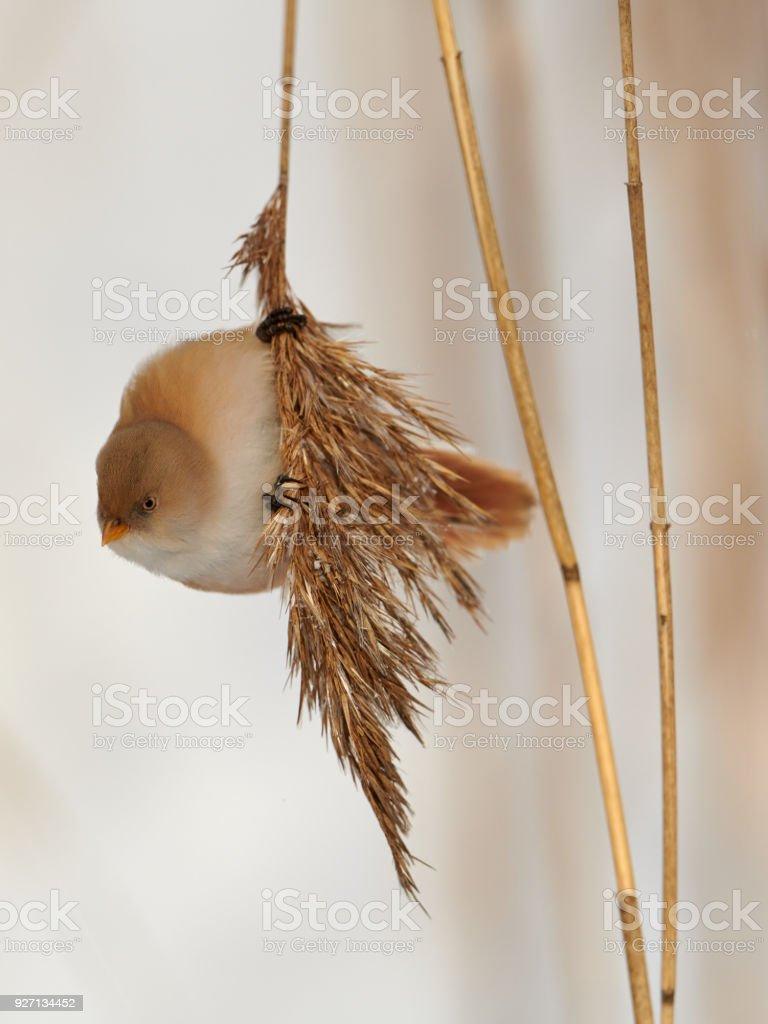 bearded reedling stock photo