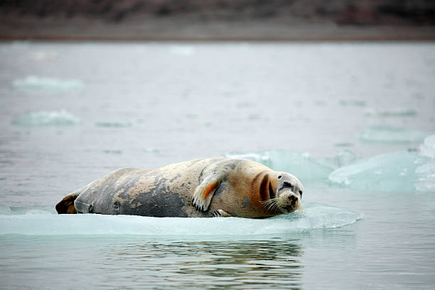 Bearded Seal stock photo