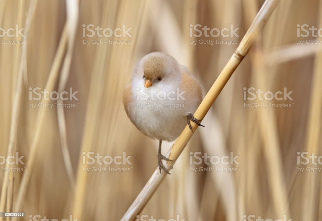 bearded tit female extra close up portrait in unusual light stock photo