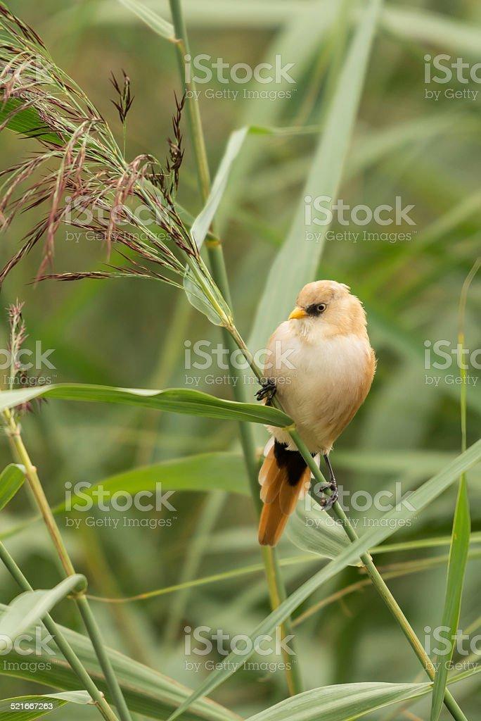 Bearded tit, female wild bird stock photo