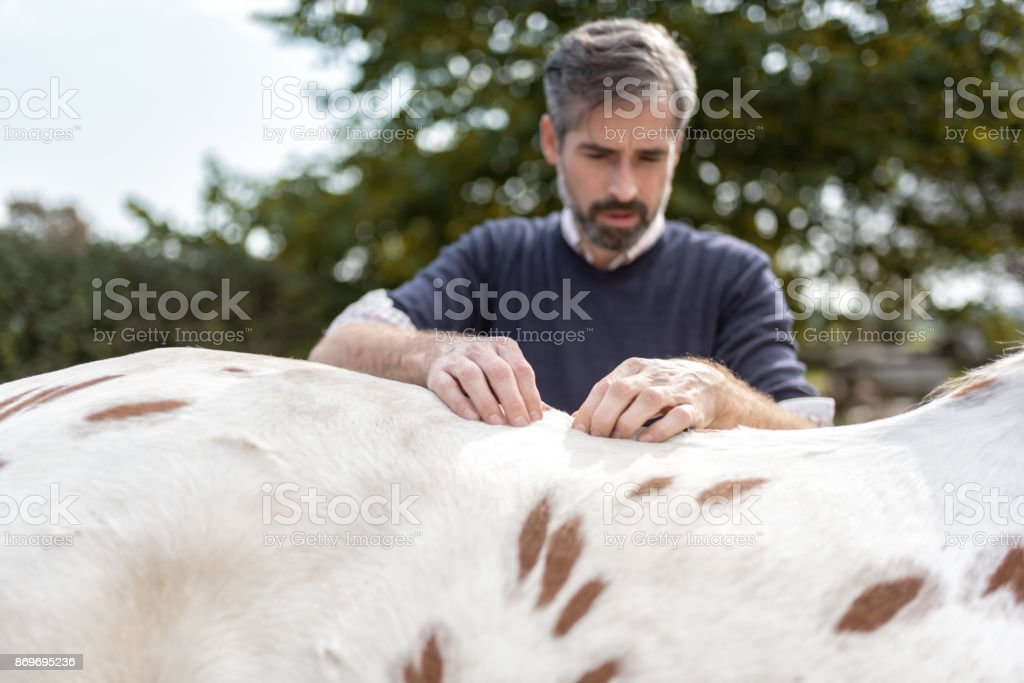 bearded veterinarian gripping at back of spotted horse stock photo