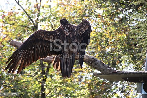 Bearded vulture, Bartgeier, Gypaetus barbatus enjoys the warm sun and spreads his wings in Tyrol, Austria. Today about 120 bearded vultures live in the European Alps.