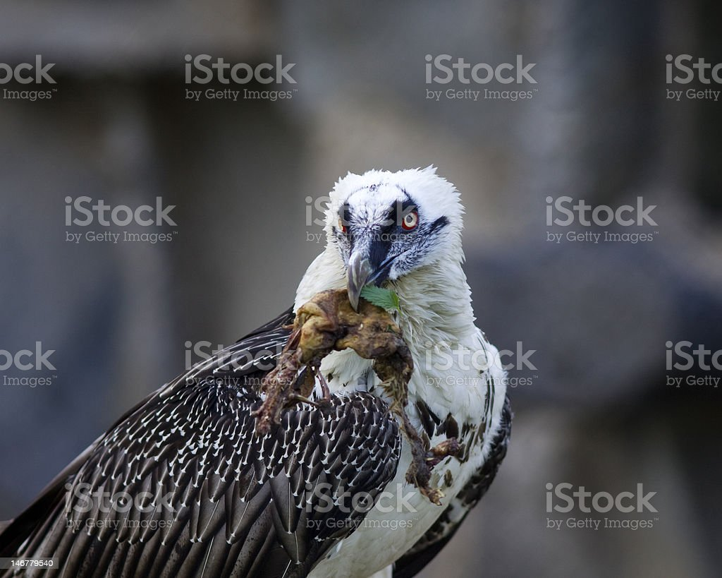 Bearded Vulture take a meat royalty-free stock photo