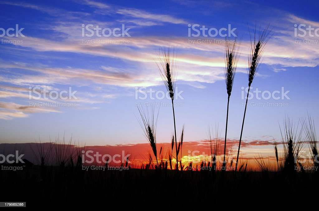 Bearded wheat silhouetted against a prairie sunset royalty-free stock photo