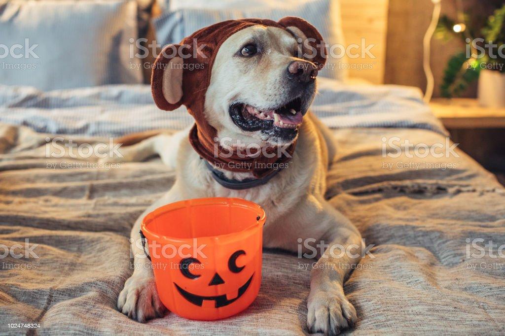 Bärenhund an Halloween – Foto