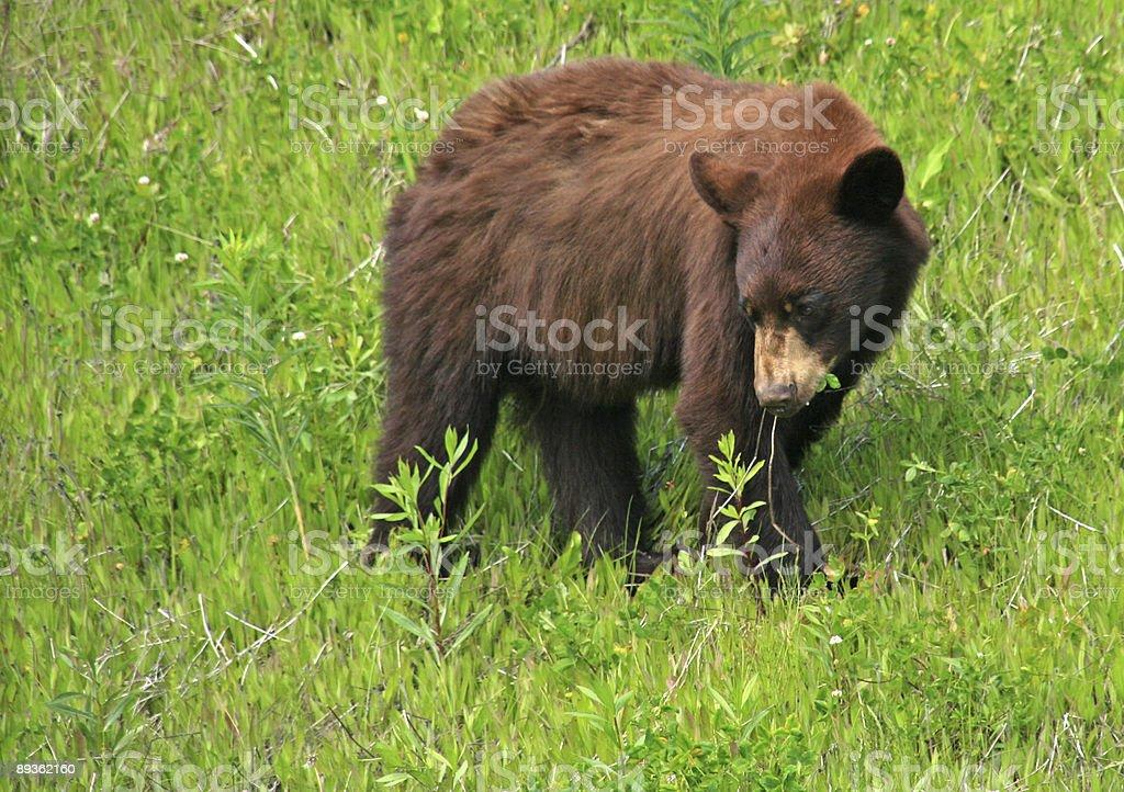 Niedźwiedź, jedzenia zbiór zdjęć royalty-free