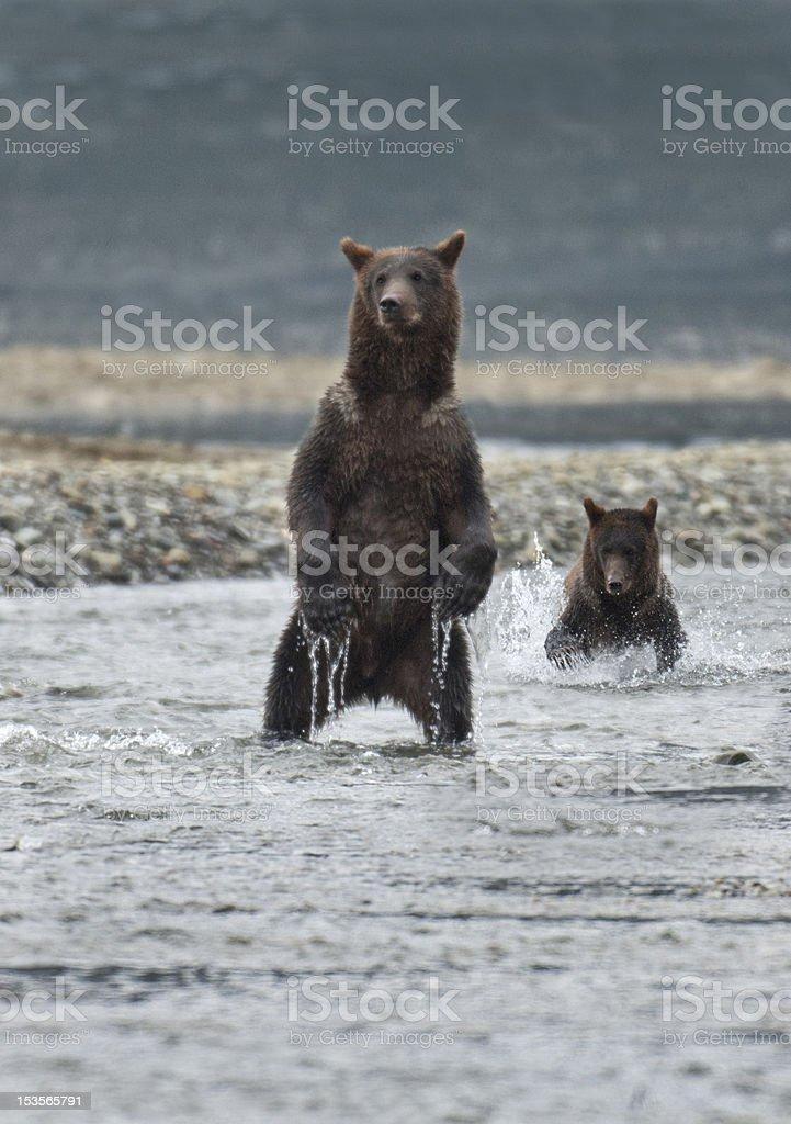 Bears fishing stock photo