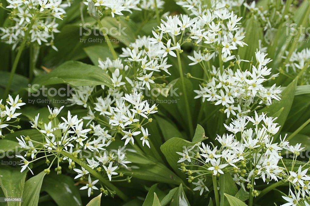 bear´s garlic royalty-free stock photo