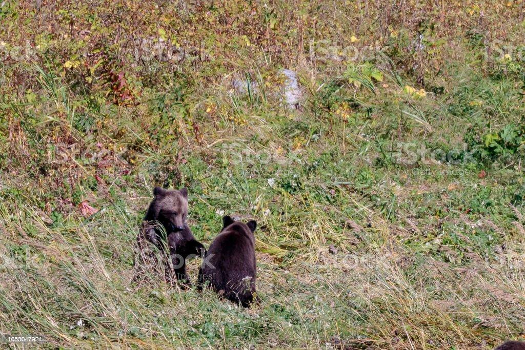 Osos cerca río de Chilkoot en Alaska Haines - foto de stock