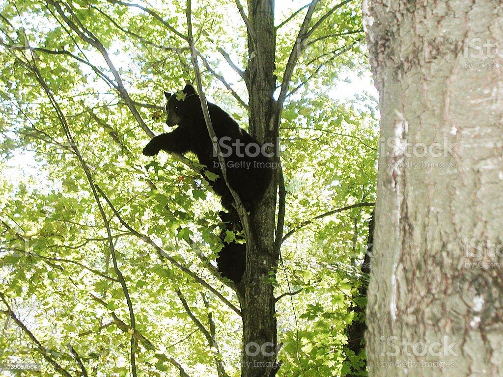 bears royalty-free stock photo