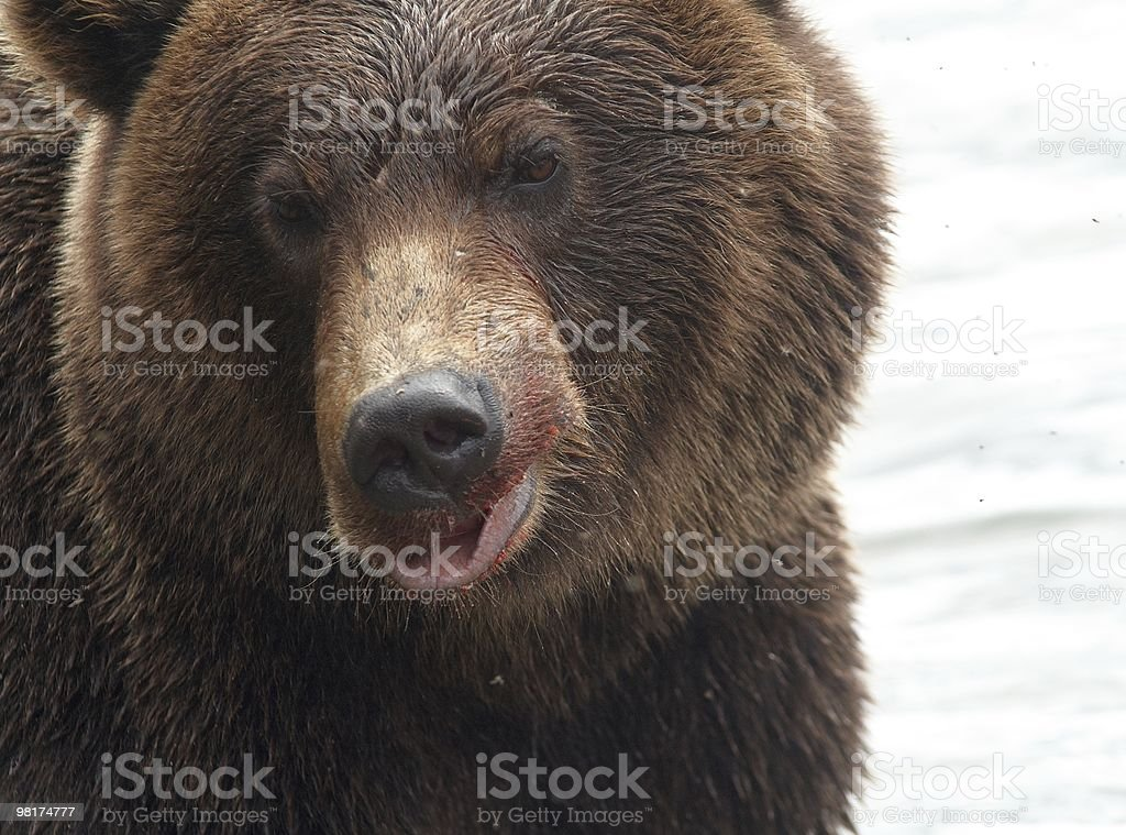 bear's portrait royalty-free stock photo
