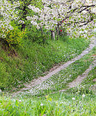 A beaten path without grass, a meadow with flowers  on the side and blossoming cherries from above