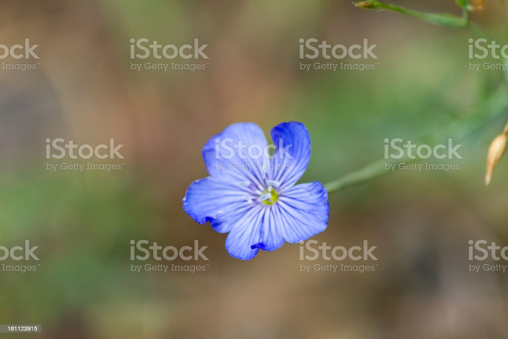 Beatiful blue wild flower royalty-free stock photo