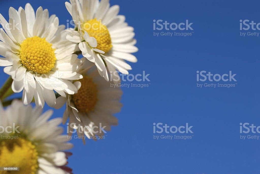 Beatiful daisy royalty-free stock photo