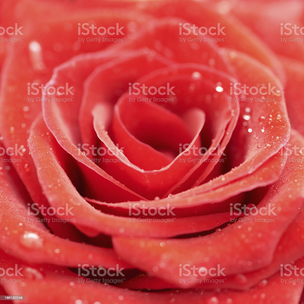 Beatiful dark red rose. royalty-free stock photo