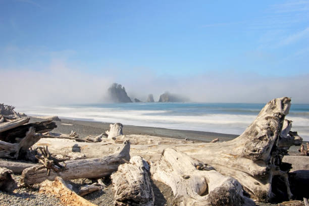 Beatiful driftwood with sea stacks in the the fog, Pacific Coast Beatiful driftwood with sea stacks in the the fog, Pacific Coast, USA driftwood stock pictures, royalty-free photos & images