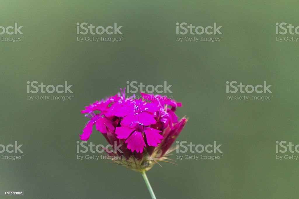 Beatiful purple wild flower royalty-free stock photo