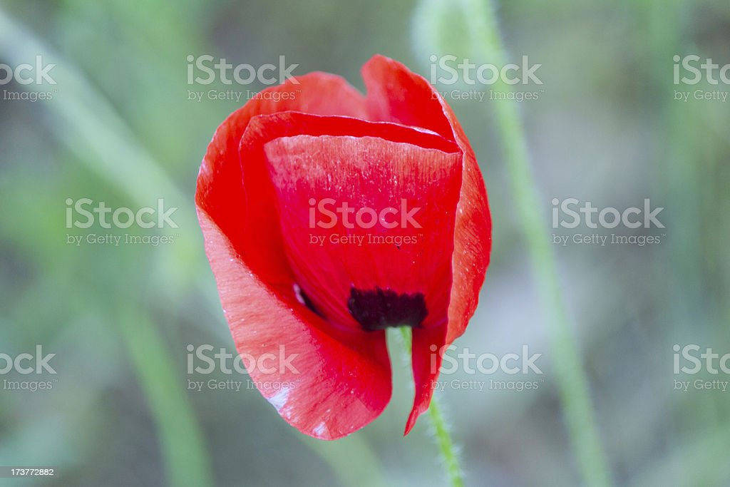 Beatiful red wild poppy royalty-free stock photo