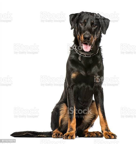 Beauceron panting and sitting isolated on white background picture id611075374?b=1&k=6&m=611075374&s=612x612&h=a9piuweuq3tghe3qyt0uexqit2nzi39mdogyyockdja=
