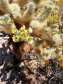Beautful blooming echinocereus cactus in the desert, America