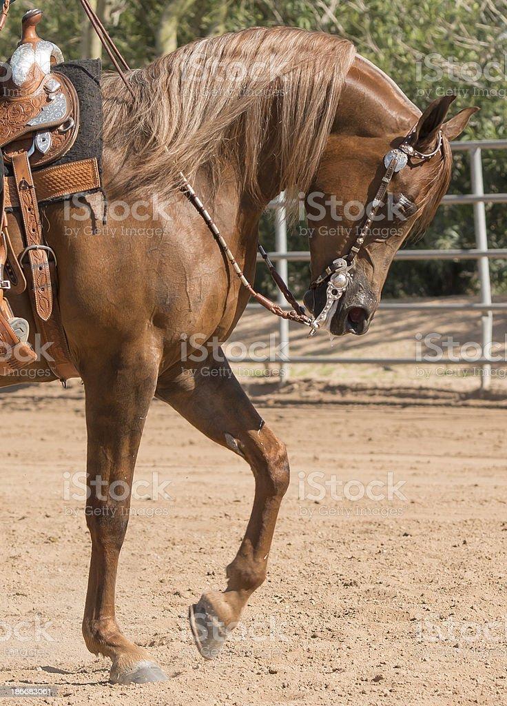 Beautful Sorrel Arabian horse front royalty-free stock photo