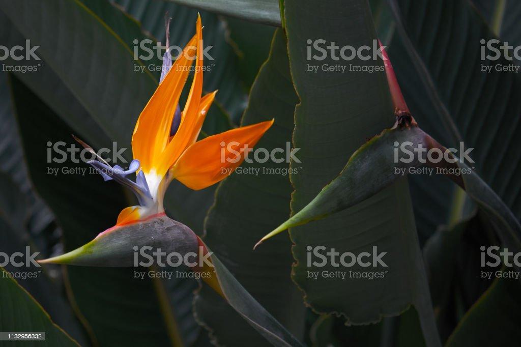 Mooiste Strelitzia bloem in de botanische tuin in Europa foto