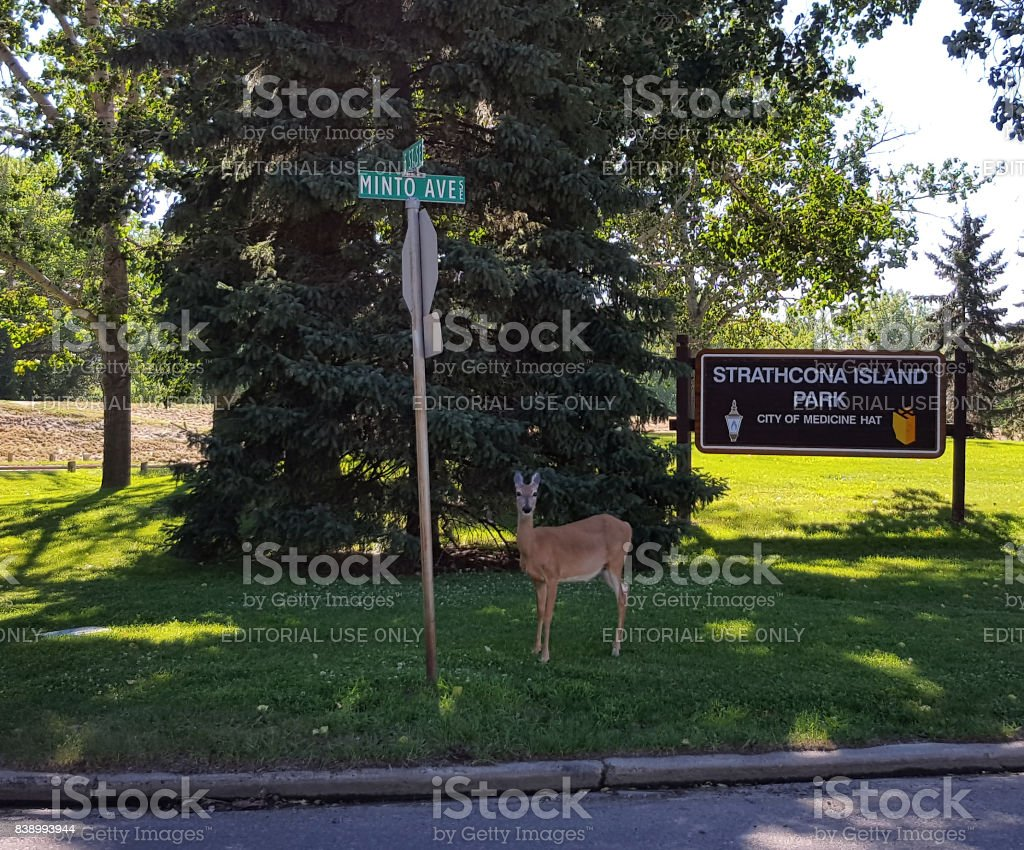 Beautifiul Wildlife Living Within The Small Town City Limits stock photo
