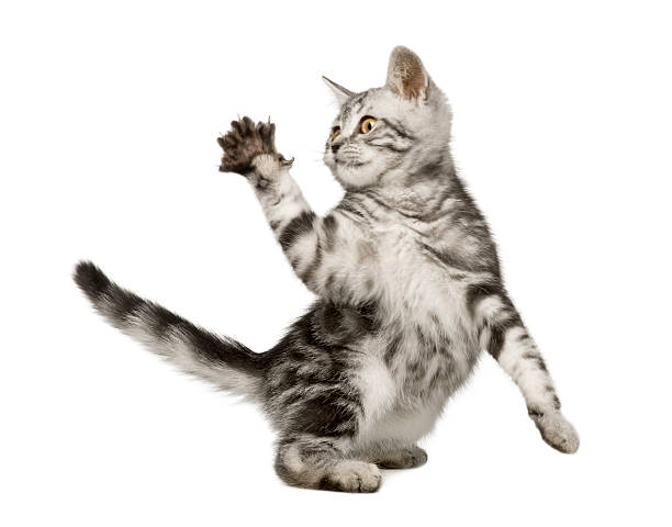 Beautiful 12 week old siberian cat holding up its paw picture id93215344?b=1&k=6&m=93215344&s=612x612&w=0&h= 6exxxw13jer9ogbd v2vuepy3xmvb71pqx4symd12e=