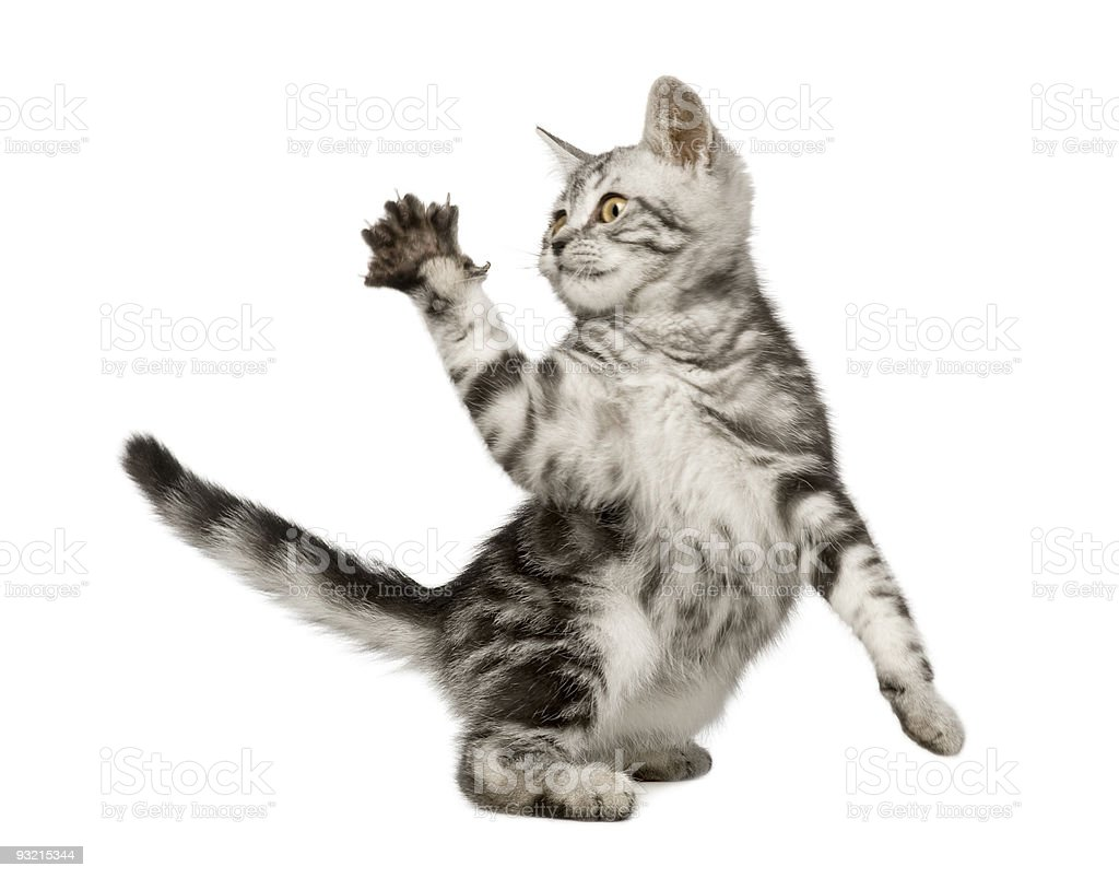 A beautiful 12 week old Siberian cat holding up its paw stock photo
