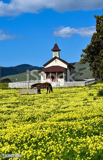 Beautiful old 1800's School house with white picket fence and horse grazing in field of yellow flowers