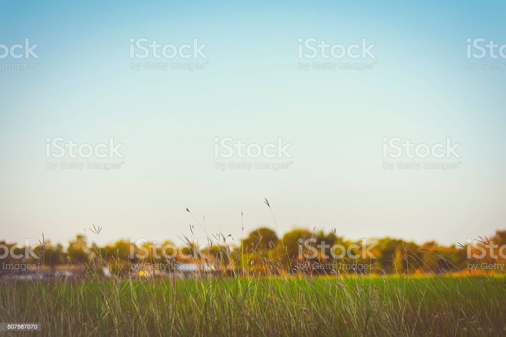 Beautiful  Abstract  Grass flowers on clear sky add vintage color stock photo