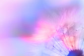 Beautiful Abstract Macro Dandelion pink, blue and orange, no people with copy space
