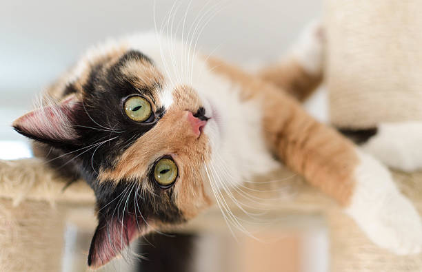Beautiful adult calico cat lying on a scratching post Cute three colored adult calico cat. This lovely cat is one year old and has a very healthy fur. Photo made with professional photo equiptment. tortoiseshell cat stock pictures, royalty-free photos & images