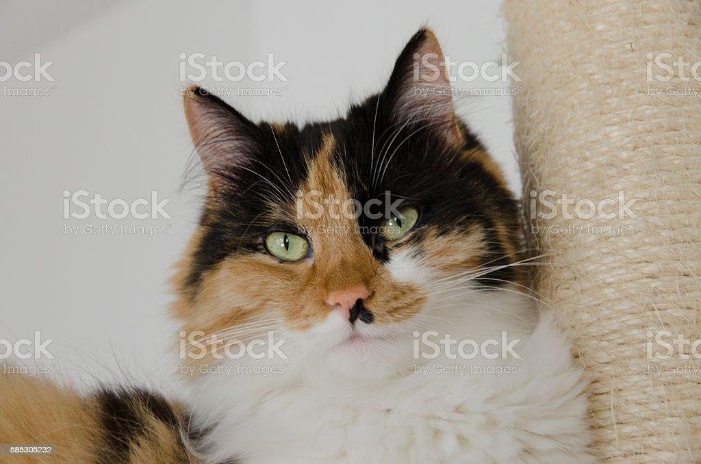 Piękny Dorosły Calico Kot Leży Na Drapak Stockowe Zdjęcia I Więcej