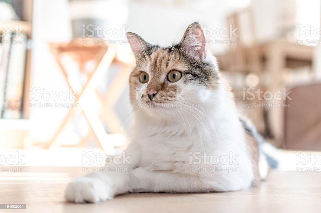 Beautiful adult calico cat lying on the floor stock photo
