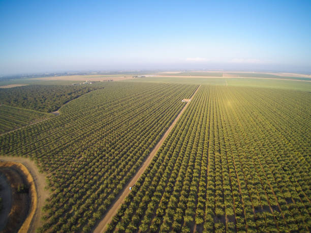 beautiful aerial view of large almond orchard - frutteto foto e immagini stock