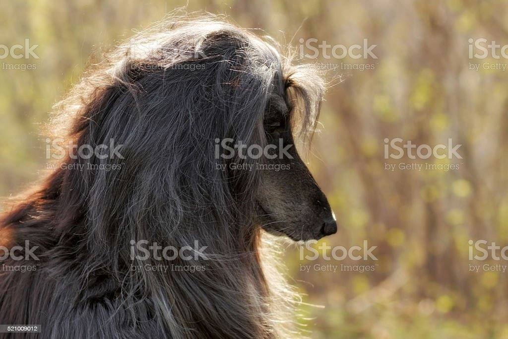 Beautiful Afghan Hound Dog Stock Photo & More Pictures of Alertness