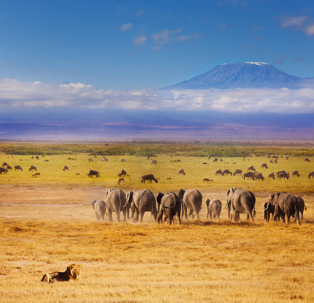 Beautiful African savannah during Great migration Beautiful view of African lion watching over elephants and wildebeests during Great migration with Kilimanjaro at the background wildebeest running stock pictures, royalty-free photos & images