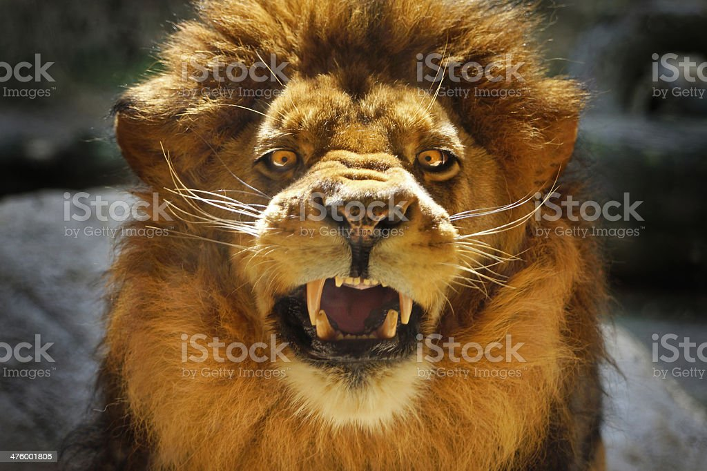 Beautiful aggressive Lion male angry and roar stock photo