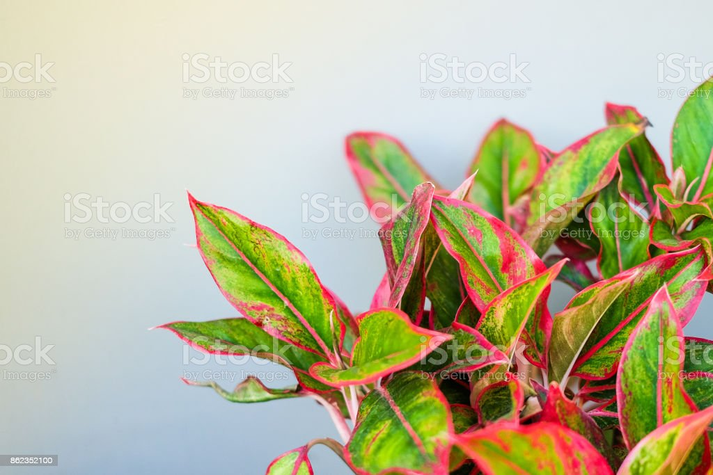 Beautiful Aglaonema (genus of flowering plants in the arum family) for nature background or texture, space for your content. stock photo