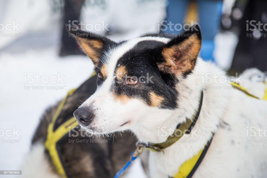 Beautiful alaska husky dogs at the finish line of a sled dog race. Beautiful alaska husky dogs at the finish line of a sled dog race. Beautiful portrait of a man's best friend. Activity Stock Photo